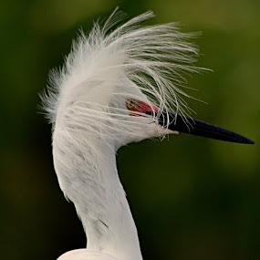 Snowy Egret by Suzi Harr - Animals Birds ( animals, nature, wildlife, snowy egret, birds, egret )