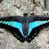 Common Bluebottle (♀)