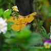 Golden Emperor Moth