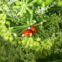 Multicolored Asian Lady Beetles mating