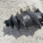 Horn Shark egg case