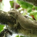 Gunther's Gecko