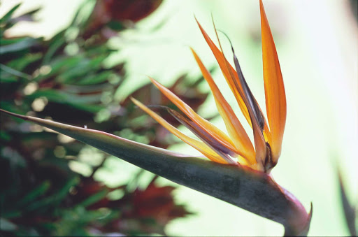 bird-of-paradise-flower - The famed bird of paradise remains in bloom throughout the year in Hawaii.