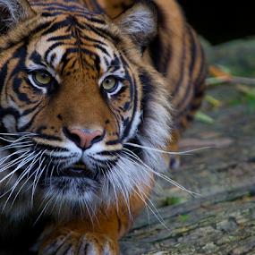 Sumatran Tiger Ready to Pounce by John Dutton - Animals Lions, Tigers & Big Cats ( big cat, tiger, sumatra, sumatran tiger )