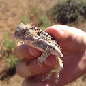 Blainville's (Coast) Horned Lizard