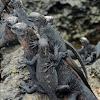 Marine iguana - Isabela sub-species (juveniles)