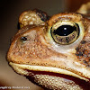 American toad (female)