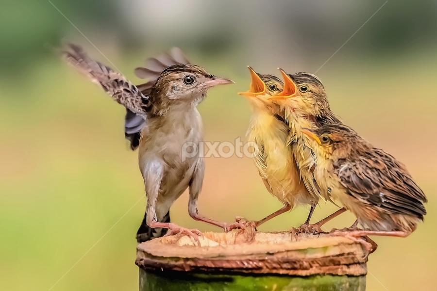 Golden-headed Cisticola.... by Husada Loy - Animals Birds