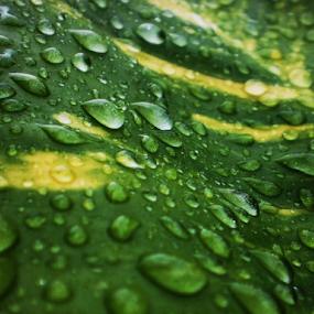 Raindrops by Arif Hossain - Nature Up Close Natural Waterdrops ( bangladesh, best photography, arif hossain photography, arif, photography )