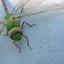 Green Darner Dragonfly (?)