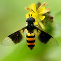 Hoverfly, Syrphid fly or Flower fly