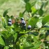 American Blueberry