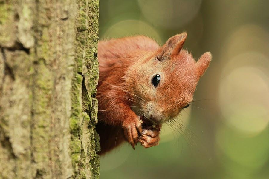 Squirrel by Aleksandra Szymczyk - Animals Other Mammals ( canon, red, forest, spring, squirrel, animal )