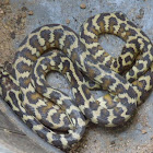 NT Carpet Python