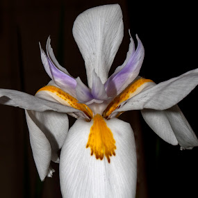African Iris by Jeri Curley - Flowers Single Flower ( single flower, purple iris, iris, african iris, purple flower )