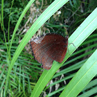 Common palmfly (butterfly)
