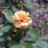 Grandiflora Rose 'About Face'