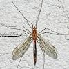 Tiger Crane Fly parasitized