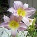 Light Pink Lillies