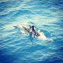 Gewone dolfijn - common dolfin