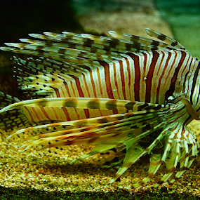 Tiger Fish by Nyoto Nugroho Poospo - Animals Fish