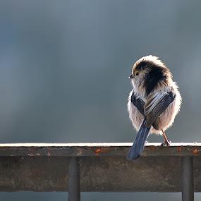 Tit (Codibugnolo) on balcony by Luigi Alloni - Animals Birds ( tit codibugnolo bird uccello animal animale balcone balcony )