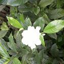 Gardenia /kaca piring