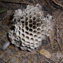 Paper wasp hive
