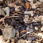 Oak-woodland Pillbug