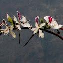 Mountain Ebony, Buddhist Bauhinia, Camel's Foot Tree, Orchid Tree