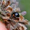 Black mealy bug predator