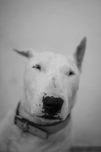 Bull Terrier Wallpapers