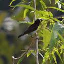 Black Sunbird
