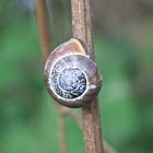 Brown Lipped Grove Snail