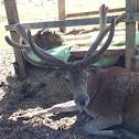 Rothirsch / red deer, elk