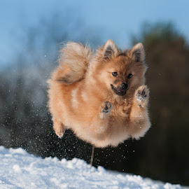 winter snow run  by Michael  M Sweeney - Animals - Dogs Running ( countryside, action dog, dog park, artisitc, furry, tag, zoom, award, reflexion, cute dogs, eyes, contrast, colour, autofocus, over, curious, colourful, d3, relaxed, snow, composition, action, reddish, weather, best friend, motion, trick, animals, colors, white, underside, michael sweeney, urban landscape, tail, jump, charming, canine, dogphotographer, air, fast, travel photography, flyer, animail, scotland, natural light, warm, jumping, photographs, colorful, joy, blue skies, wildlife, young photographer, michael m sweeney, city park, cute, running, character, clear, training, michaelmsweeneyphotography, flying, adorable dogs, epic, wow, adventure, style, joyfull, boppy, pomerainan, beige, fur, iced, nikon, celebrate, small dog, activity, athlete, top, uk, speed, up and down, dog portraits, pomeranian )