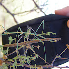 walking stick, stick insects mating