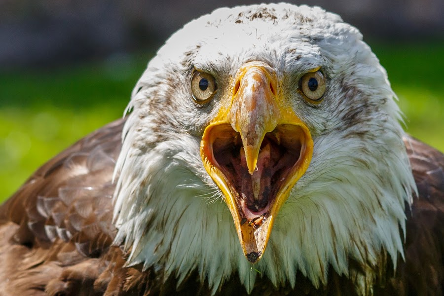 the cry by Ralf Seelert - Animals Birds ( bird, eagle, crying, bald, cry )