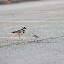 Killdeer (and chicks)