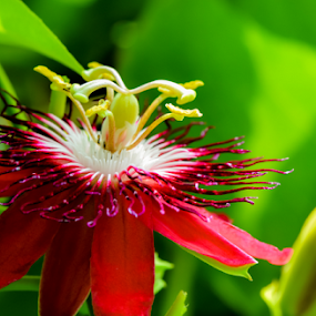 Passiflora by Jamaluddin Abdul Jalil - Flowers Flower Gardens ( #passion#fruit#vines, #malaysia, #flowers#passiflora#amber#red,  )