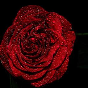 Beautiful red  rose by Abhijeet Kumar - Flowers Single Flower ( rose, red flower, roses, red rose, red roses, flower )
