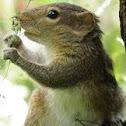 Three-srtipped Palm Squirrel