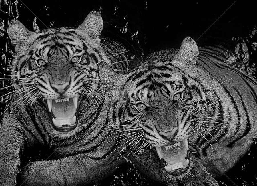Ferocity in shades of black and white by Ubayoedin As Syam - Black & White Animals