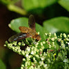 Unknown Bombyliidae