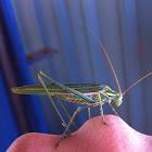 Katydid/bush cricket