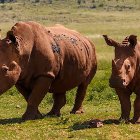 Rhino and Son by Hans-Erik Arp - Animals Other Mammals ( african, rhinoceros, big 5, rhino, rhino calf, white rhino,  )
