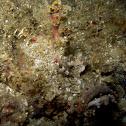 Scorpaenopsis macrochir