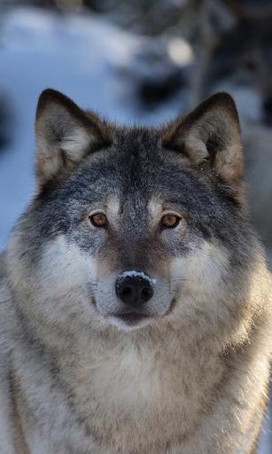 Los lobos viven wallpaper 1