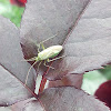 Miridae / Слепняк