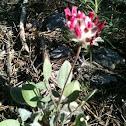 Anthyllis vulneraría